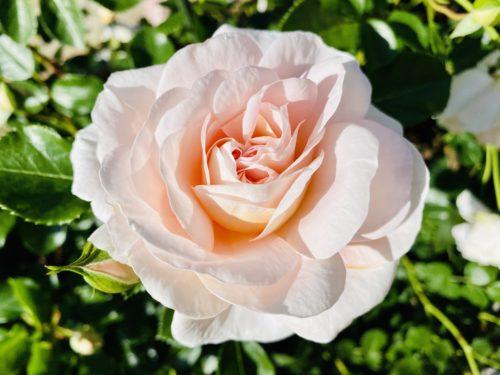 女将さんのバラ園 民宿旅館一句石にある開花時期になると見れるお庭